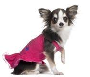 1奇瓦瓦狗老桃红色坐的年 库存图片