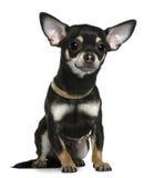1奇瓦瓦狗衣领老坐的佩带的年 免版税图库摄影