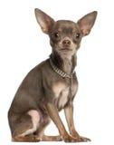 1奇瓦瓦狗衣领金刚石老佩带的年 免版税库存照片
