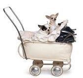 1小奇瓦瓦狗老婴儿推车年 免版税库存照片