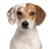 1小猎犬接近的老年 免版税库存图片