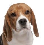 1小猎犬接近的老年 库存照片