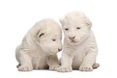 1崽狮子星期白色 库存照片