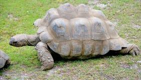 1巨型草龟 免版税库存图片