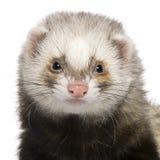 1接近的白鼬老年 免版税库存图片