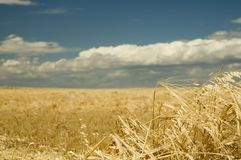 1收割期麦子 免版税图库摄影