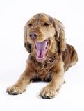 1斗鸡家狗公老西班牙猎狗疲乏的年 库存图片