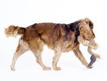 1斗鸡家狗公老西班牙猎狗走的年 库存图片