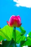 1朵莲花 库存照片