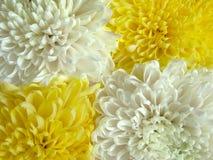 1朵菊花 免版税图库摄影