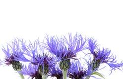 1朵蓝色花 免版税库存图片