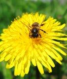 1朵蜂花 免版税库存图片