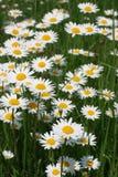 1朵雏菊 库存图片