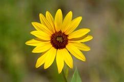 1朵黑眼睛的花苏珊 免版税图库摄影