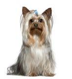 1条半老坐的狗岁月约克夏 库存图片