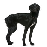 1条品种狗半混杂的老岁月 库存图片