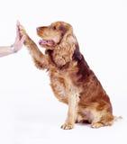 1条斗鸡家狗五产生男性老西班牙猎狗& 库存图片