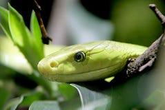 1条树眼镜蛇 免版税库存图片