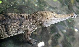 1条澳大利亚鳄鱼 免版税库存照片