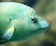 1条濑鱼 免版税图库摄影