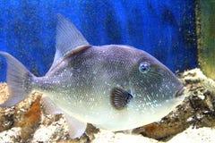 1条灰色引金鱼 免版税库存照片