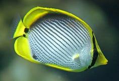 1条神仙鱼 库存图片