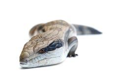 1条蓝色蜥蜴舌头 库存照片