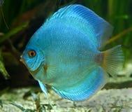 1条蓝色铁饼鱼 库存图片