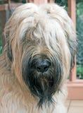 1条briard狗 图库摄影