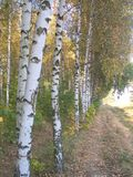1桦树 免版税库存图片