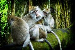 1森林猴子ubud 免版税图库摄影