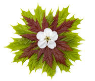 1棵叶子槭树 免版税库存图片