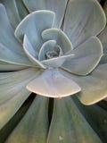 1棵多汁植物 免版税图库摄影
