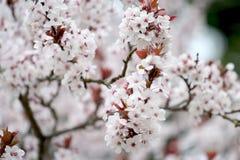 1棵开花樱桃 库存照片