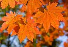 1棵秋天分行槭树 库存照片