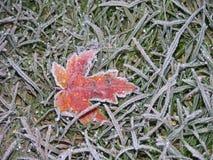 1棵结霜的叶子槭树 图库摄影