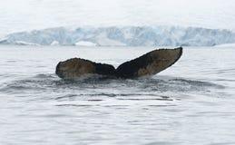 1潜水驼背尾标鲸鱼 免版税图库摄影