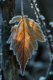 1片早期的霜叶子 库存图片