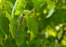 1片蜻蜓叶子 免版税库存照片