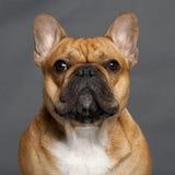 1牛头犬接近的法国老年 免版税库存图片