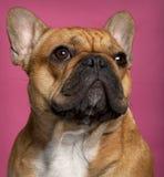 1牛头犬接近的法国老年 免版税库存照片
