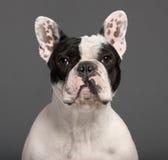 1牛头犬接近的法国老年 库存图片