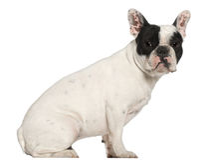 1牛头犬法国老坐的年 免版税库存图片
