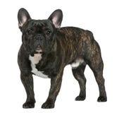 1牛头犬法国老常设年 库存图片