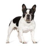 1牛头犬法语年 免版税图库摄影