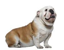 1牛头犬英国老坐的年 免版税库存图片