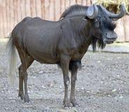 1牛羚被盯梢的白色 库存照片