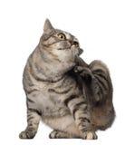 1短尾的猫kurilian老年 库存图片