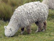 1羊魄 免版税库存图片