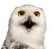 1腹股沟淋巴肿块女性老猫头鹰scandiacus多雪的年 免版税库存图片